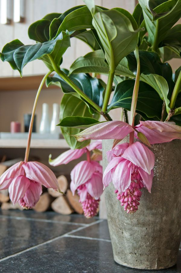 17 Best Images About Medinilla On Pinterest The