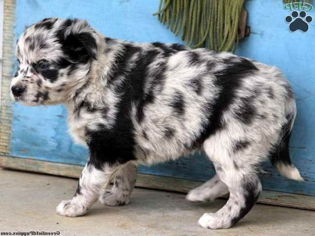 Australian Shepherd Husky Mix Puppies For Adoption Australian