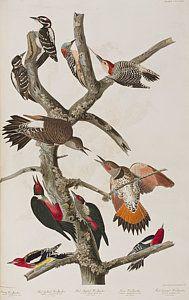 Drawing - Woodpeckers by John James Audubon