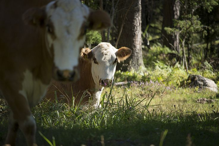 Ravanti Events, Cows   by visitsouthcoastfinland #visitsouthcoastfinland #Lohja #ravantievents #cow #lehmä