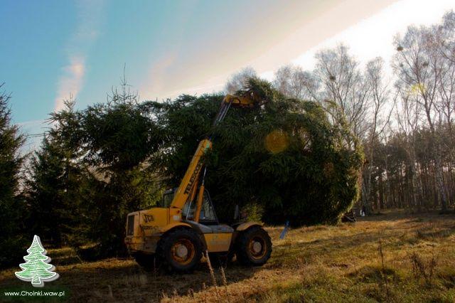 Choinka na Warszawskiej Starówce - Ścinamy drzewo