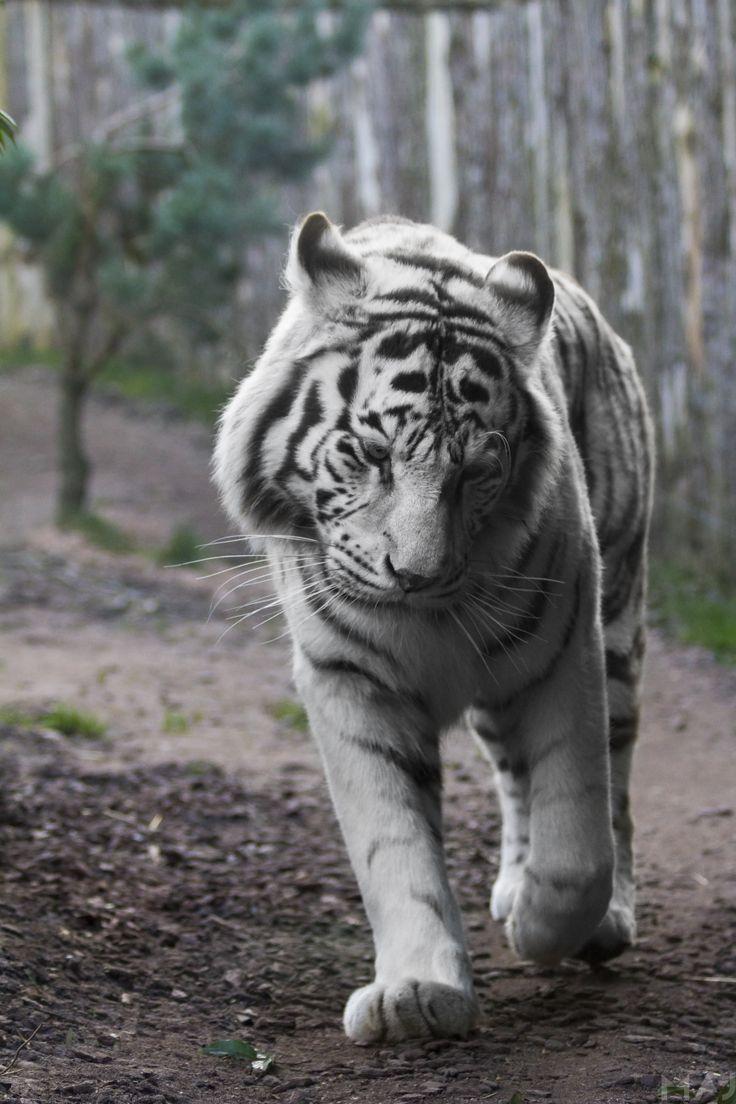 Tigre Blanc by harrymajy.deviantart.com on @deviantART