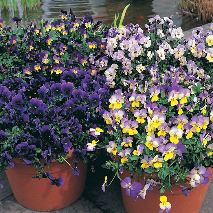 Pansy 'Singing the Blues' - Perennial & Biennial Seeds - Thompson & Morgan Worldwide