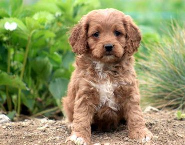 stunning-miniature-cockapoo-puppy-picture