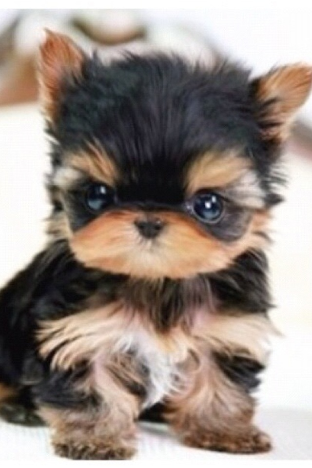 It is black and brown puppy