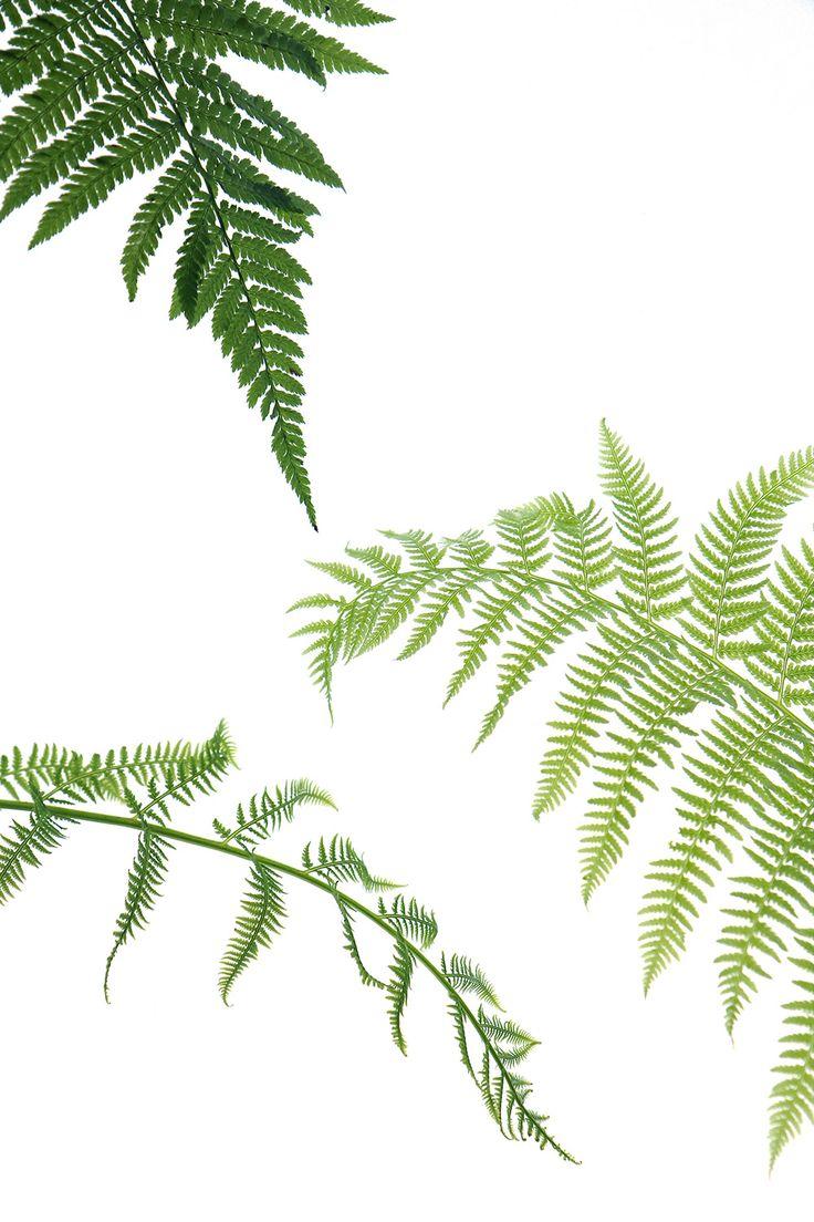 lady ferns (mary jo hoffman)