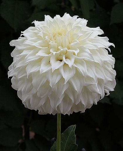 "Clearview Misty, Height - 4.5' Blooms - 7-8"" Size/Form - B Informal Decorative Color - White ADS Class - 2101 Introduced - 2009  Pure white, very full blooms held on strong stems. This is a great garden and cut flower dahlia - as well as show bloom."