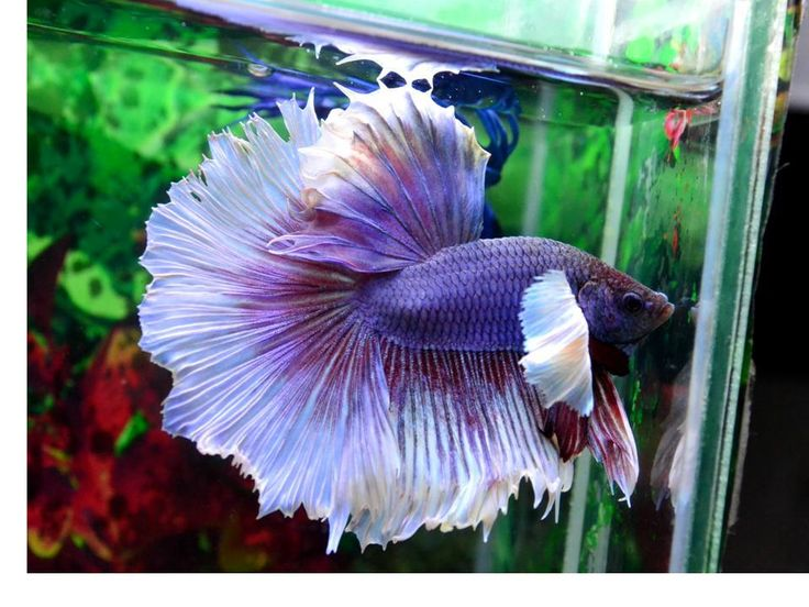 1000 images about dumbo bettas on pinterest salamanders for Elephant betta fish
