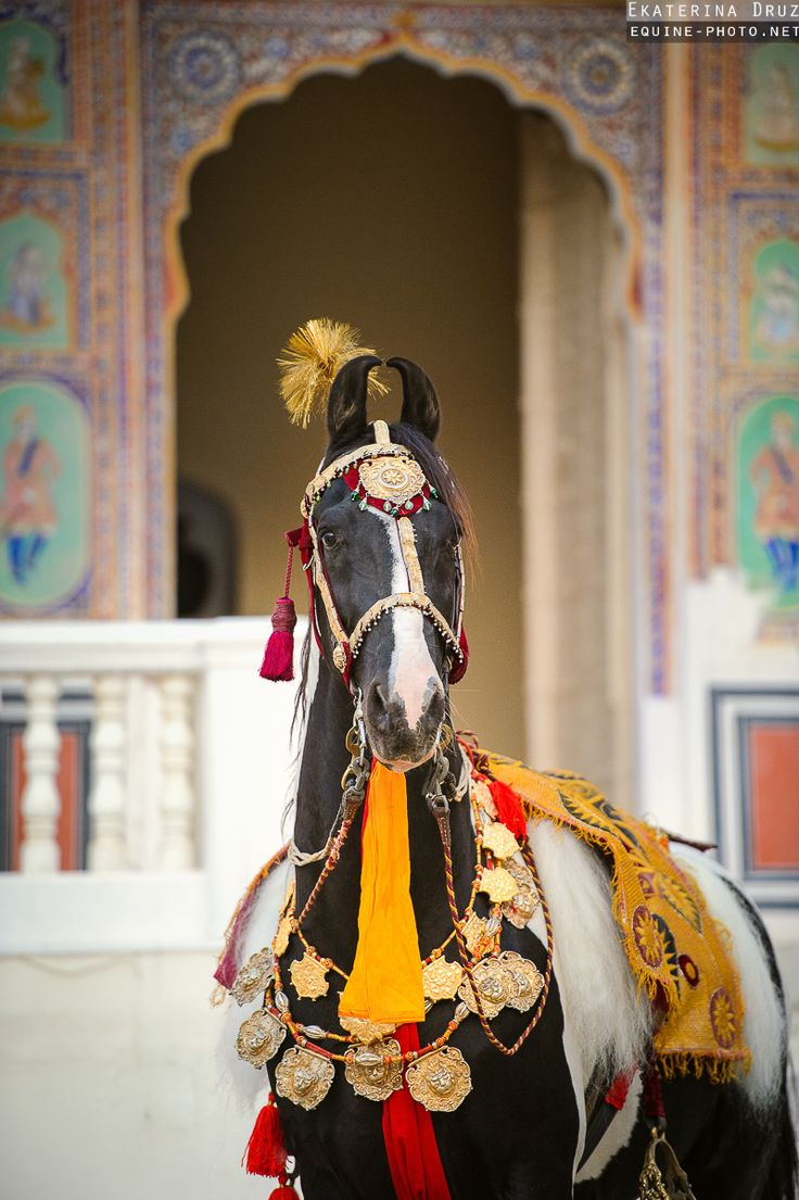 Marwari horses photographed in India, posing in traditional jewelry and tack in arches of castles and forts. | Ekaterina Druz