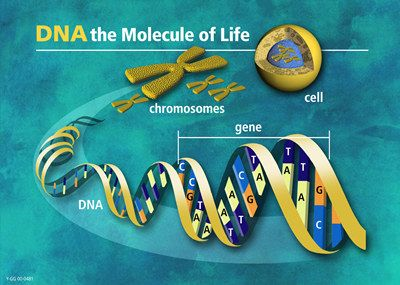 DNA molecules consist of two anti-parallel chains held together by complementary base pairs that form a double helix.