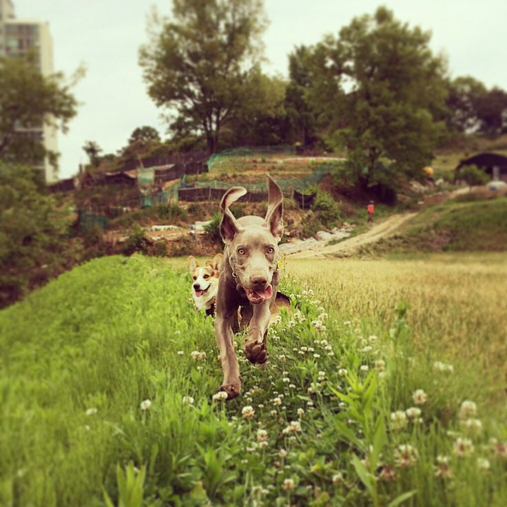 Mumm #puppy #instacorgi #corgi #corgidog #corgigrrr #corgilove #corgicrazy #corgifamily #corgination #corgistagram #corgioftheday #corgicommunity #corgisofinstagram #dailydog #dogstagram #dogsofinstagram #petstagram #petsofinstagram #pembrokewelshcorgi #welshcorgi #statigram #buzzfeed #tastyshoutouts #puppyoftheday #dogoftheday #instagramcorgis#naver #SIMZ #weimaraner #google #nate #petphotography #peto #dog #pet #weim #pinterest #애완동물 #반려동물 #반려견 #애견 #와이마라너 #바이마라너 #독일사냥개 #웰시코기 #코기