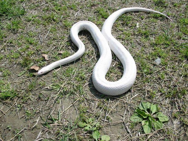 大神神社の白蛇 | 動物 > 爬虫類・両生類の写真 | GANREF