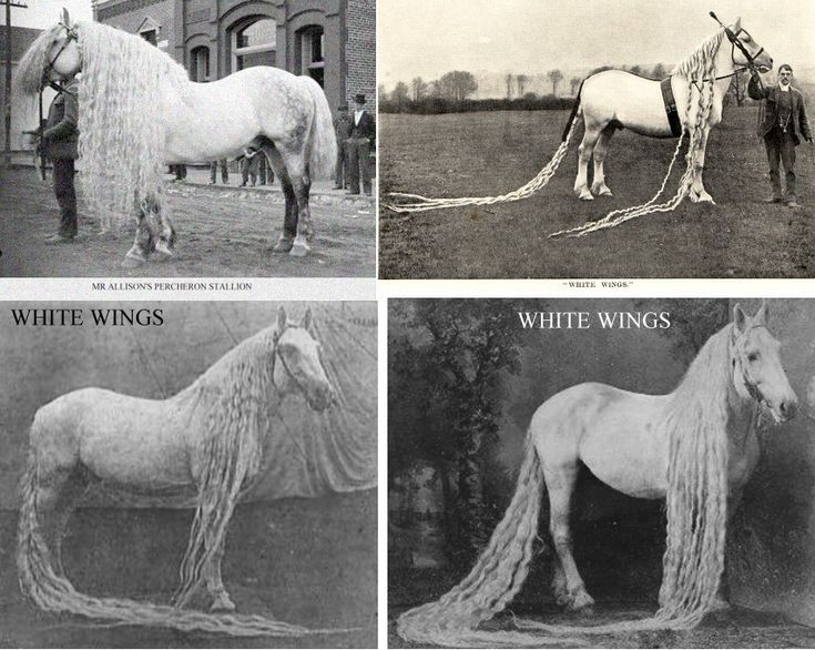 White Wings was a pure white Percheron stallion whose mane was said to be 14 feet long with a tail 17 feet long. A 1902 book of animal life described White Wings as the most beautiful horse alive.