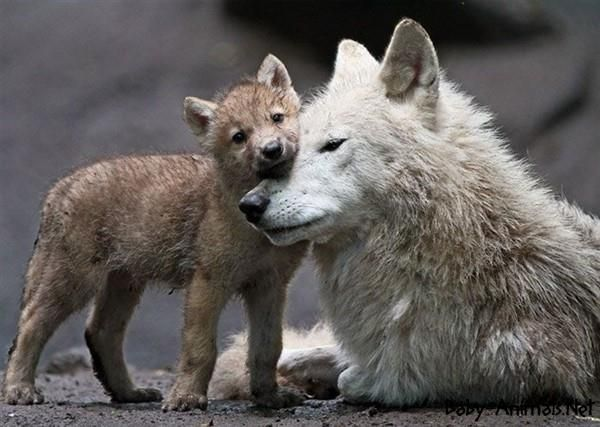 14 best Baby wolf images on Pinterest | Animal babies ...