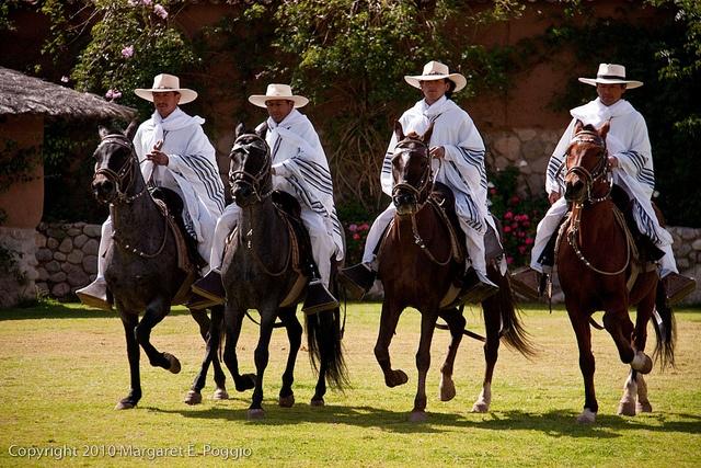 Paso horses at Wayra Ranch, look at the gait