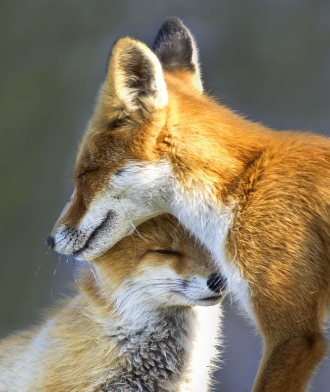 Red Foxes by Johannes Amshoff on 500px