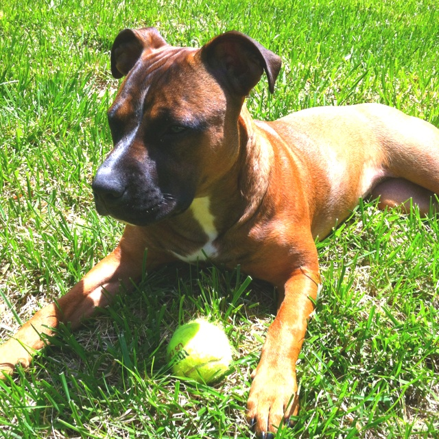 pitbull boxer mix.. maybe this is Ruger? With a hint of bulldog for his wrinkly face
