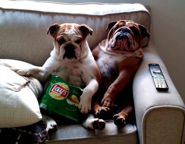 english-bulldogs-watch-a-scary-movie