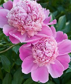 peony care and planting- i need to propagate my lone peony bush so that I may have lots & lots of peony bushes