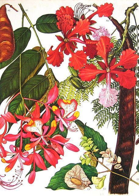 Orchid Bush Legume Pod Flowers South East Asia Botanical Exotica 1969 Large Vintage Lithograph Illustration Print To Frame 113..