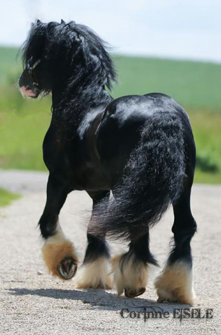 black gypsy vanner draft horse