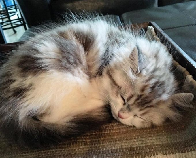 Ragamuffin Cat Breed Information Pictures Characteristics Facts Ragamuffin Cat Cat Breeds Ragamuffin Kittens