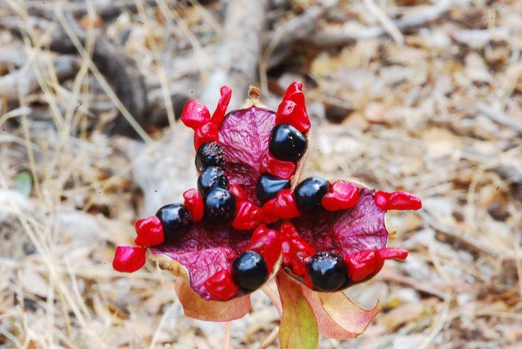 The wonderfully vibrant seeds of the endemic Cretan paeony