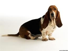 This looks like our old dog Andee, with all the freckles on her legs! Basset Hound, Bassett Fans, Old Dogs, Favorite Dogs, Bassett Hound, 10 Years, Happy Dogs, Bassethound, Animal