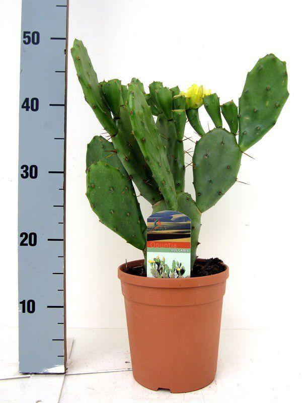 Кактусы, суккуленты : Горшечные растения : Каталог : Оптовый центр цветов Азалия