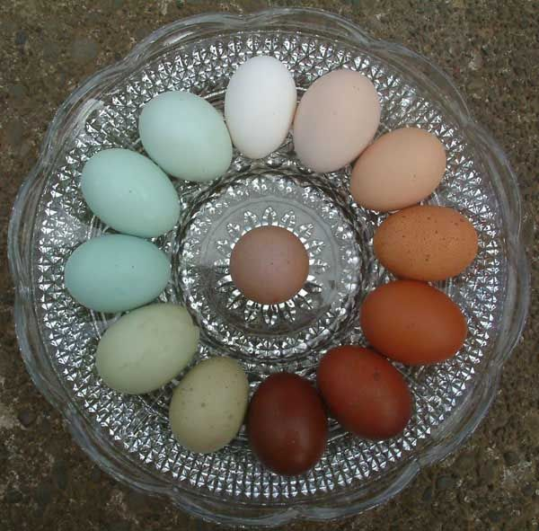 Breeding chickens that lay dark brown eggs with those that lay blue eggs produces birds that lay multi-coloured eggs. The easter egger breed was developed in America by this method.