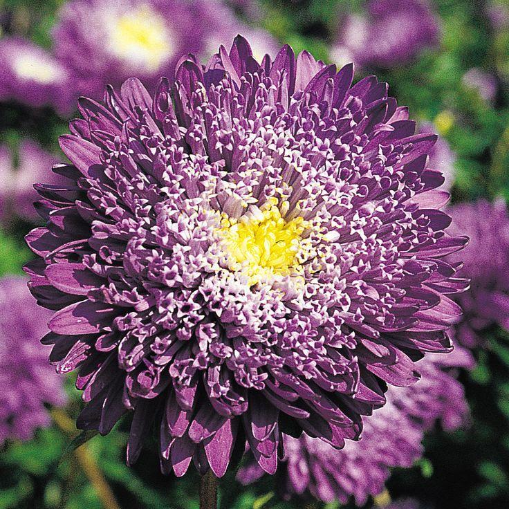 Sommaraster | Ettåriga blomsterväxter | Callistephus chinensis 'Princess Eva' |