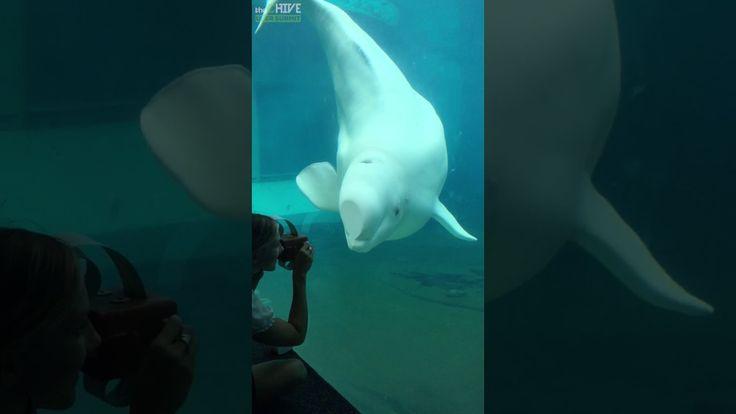 Adorable Baby Beluga Whale Dances To Music Box
