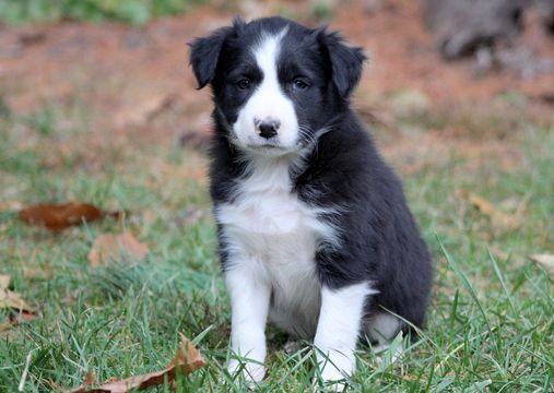 Border Collie puppy for sale in MOUNT JOY, PA. ADN-52554 on PuppyFinder.com Gender: Male. Age: 6 Weeks Old