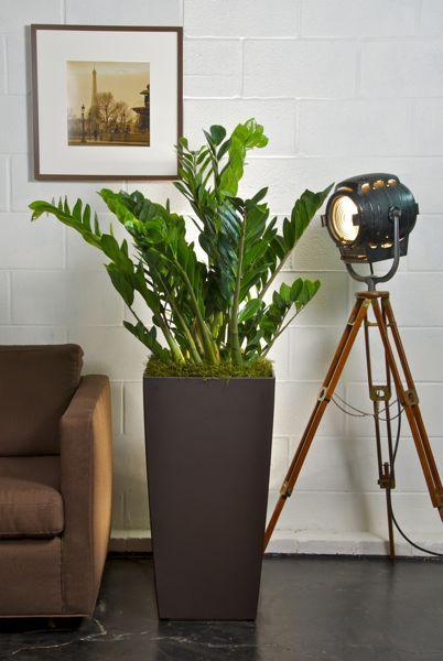 Houston's online indoor plant & pot store - ZZ Plant