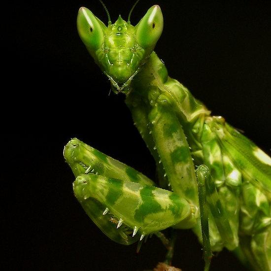 321 Best Images About Praying Mantis Amp Walking Sticks On