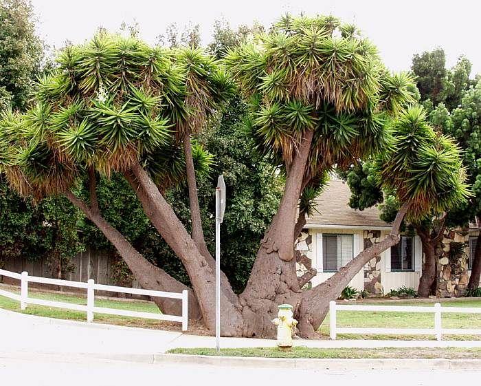 yucca_elephantipes1.jpg (700×561)