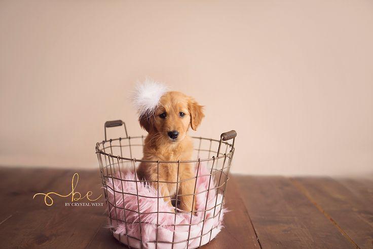 puppy photography newborn photography dog photography puppy pose golden retirever