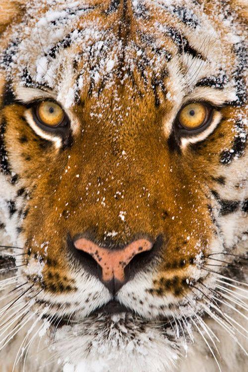 A Siberian Tiger.                    (Photo By; Suha Catman.)