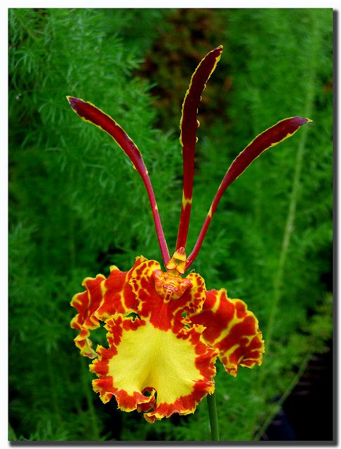 Reaching Out, (Psychopsis papilio, Oncidium papilio, The Butterfly Orchid)