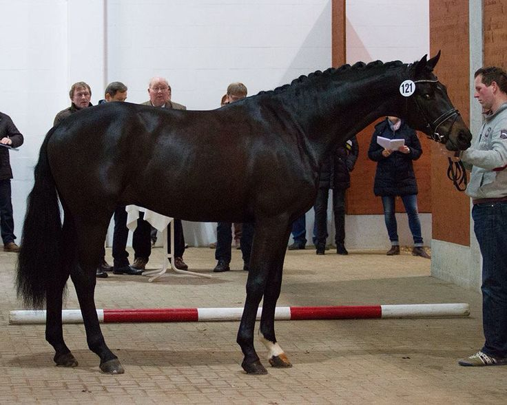 Hanoverian Horses For Sale In Bc