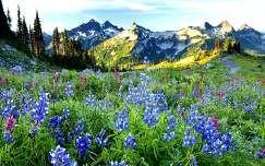 csillagfürt tavaszi virág virágmező tavasz vadvirág hegy