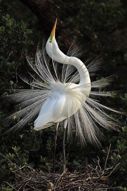 Great Egret in mating display (Ardea Alba) by pedro lastra, via Flickr
