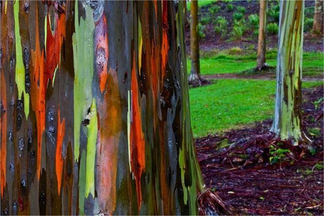 Rainbow eucalyptus trees are tropical, and these can be found on the island of Kauai in Hawaii.