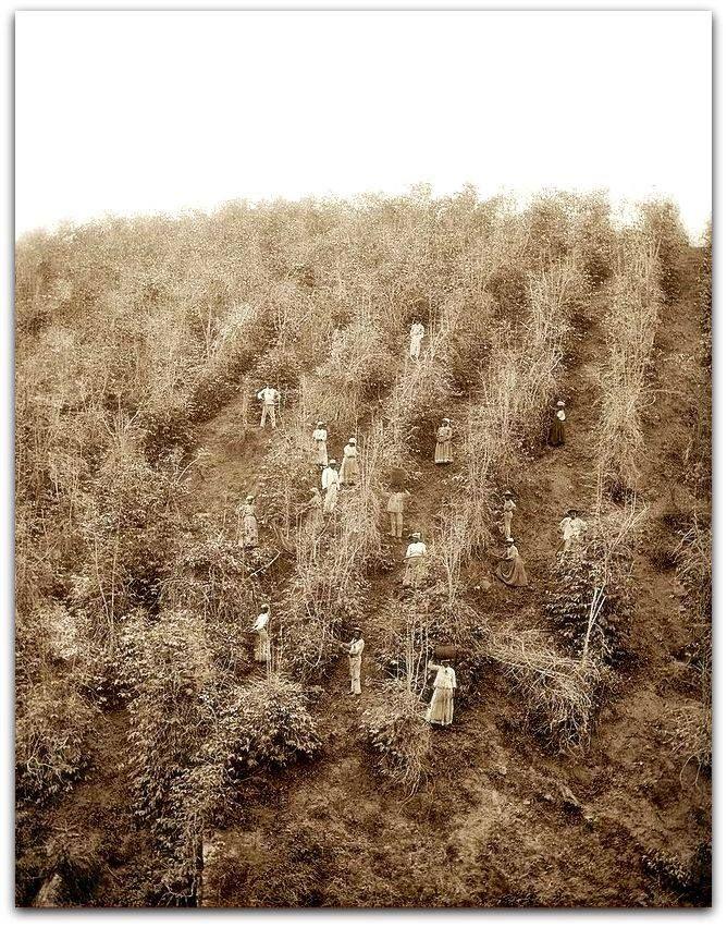Fotos do trabalho de colheita e o processamento de café Marc Ferrez - século XIX O trabalho da colheita é o mais simples que se possa imaginar. Em relação a ela a técnica ainda nada inventou que tornasse supérfluo o trabalho manual; do mesmo modo que há séculos, os bagos de café são colhidos pela mão do homem, e talvez os trabalhadores de hoje entoem as mesmas cantigas monótonas que outrora os escravos entoavam para acompanharem os mesmos movimentos monótonos. Depois os bagos de café são…