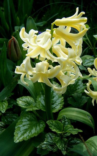 Hyacinth Hyacinth Pinterest Image Search And Search