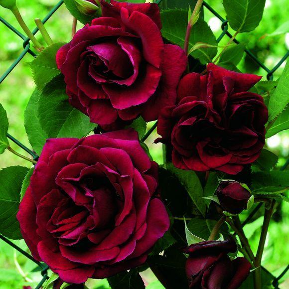 rosier gripan tguin e les roses anciennes rosier. Black Bedroom Furniture Sets. Home Design Ideas