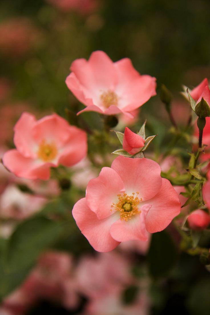 231 besten FLOWERs Bilder auf Pinterest   Mohnblumen und ...