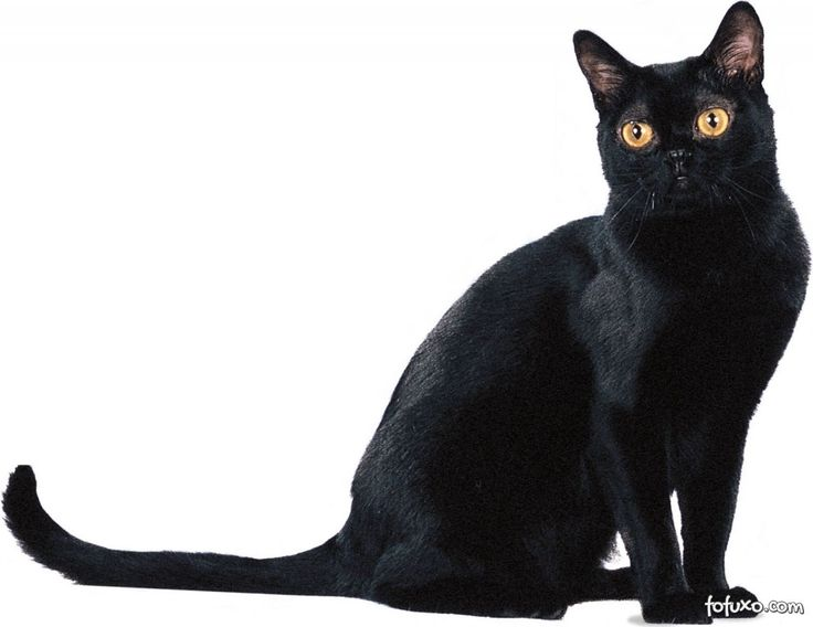 Tudo sobre a raça de gato Bombaim (Bombay). Veja ficha técnica, características físicas e emocionais, fotos, etc.
