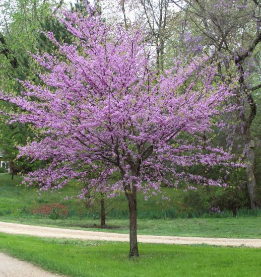 Eastern redbud tree (Cercis canadensis). It seems to be drought resistant and has a high tolerance to salt.