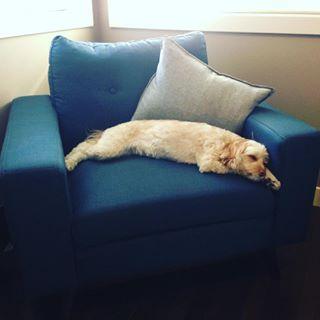 I am still so in love with this blue #armchair in my office! #Hattie seems to love it, too! #sleepypuppy #myurbanbarn #furniture #chair #office #blue #bluechair #dog #dogsofinstagram #cockapoo #cockapoosofinstagram